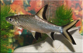 Акулий бала (Balantiocheilos melanopterus)— Аквариумные рыбки
