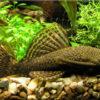 Анциструс (Ancistrus)— Аквариумные рыбки