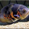 Астронотус (Astronotus)— Аквариумные рыбки