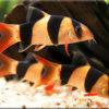 Боция, или ботия (Botia)— Аквариумные рыбки