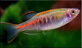 Данио (Danio)— Аквариумные рыбки
