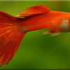 Гуппи (Poecilia reticulata)— Аквариумные рыбки