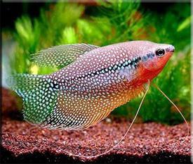 Гурами или Трихогастры (Trichogaster), Нитеносцы (Nematophora)— Аквариумные рыбки