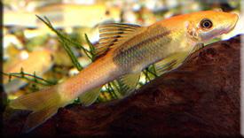 Гиринохейлус (Gyrinocheilus aymonieri)— Аквариумные рыбки