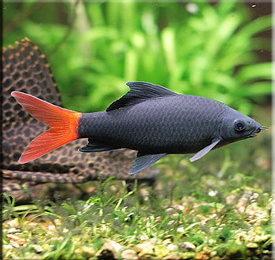 Лабео (Labeo)— Аквариумные рыбки