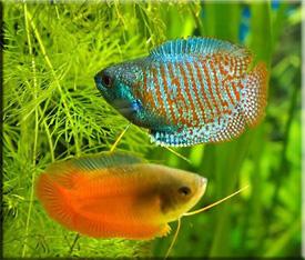 Лялиус (Colisa lalia)— Аквариумные рыбки