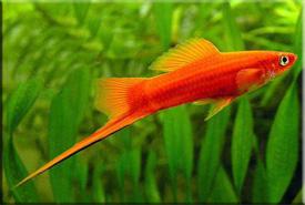 Меченосец (Xiphophorus helleri)— Аквариумные рыбки