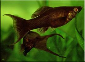 Моллинезия (Mollienesia)— Аквариумные рыбки