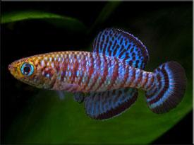 Нотобранхиус (Nothobranchius)— Аквариумные рыбки