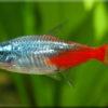 Неон (Paracheirodon)— Аквариумные рыбки