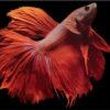 Петушок (Betta splendens)— Аквариумные рыбки