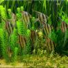 Скалярии (Pterophyllum)— Аквариумные рыбки