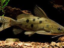 Синодонтис (Synodohtis)— Аквариумные рыбки