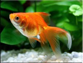 Золотая рыбка (Carssius auratus)— Аквариумные рыбки